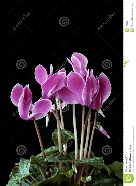 imagenes de rosas unicas 404 not found