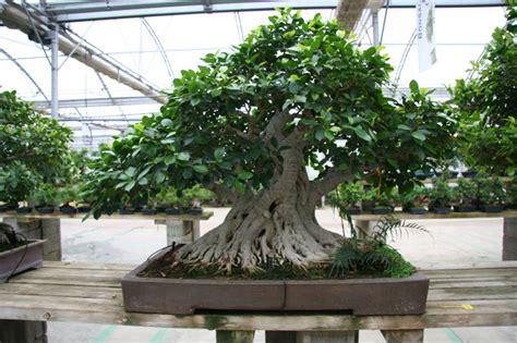 Bonsai Ficus Kaufen by Birkenfeige Bonsaipflege Ch
