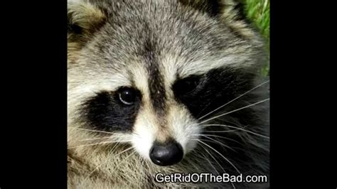 how to get rid of a raccoon in your backyard how to get rid of raccoons fast youtube