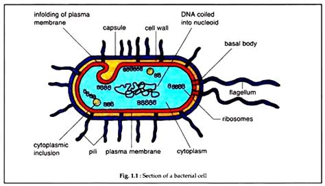 bacterial cell diagram labeled structure of bacterial cell with diagram