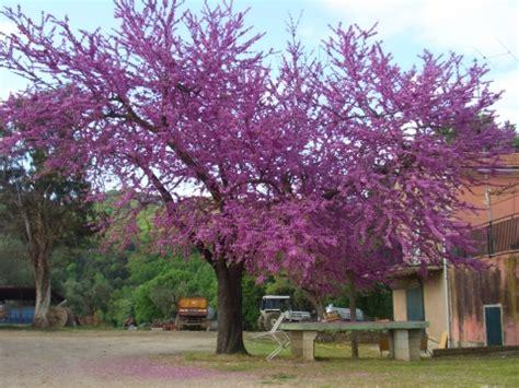 alberi colorati da giardino piante per aiuole acquisto piante per aiuole