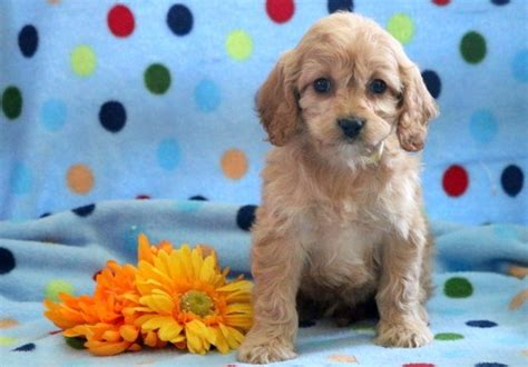 cavapoo puppies for sale in iowa the 25 best cavapoo puppies for sale ideas on cavapoo for sale cockapoo
