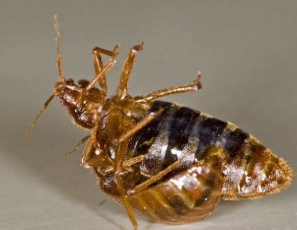 how do bed bugs reproduce how do bed bugs reproduce articles on health