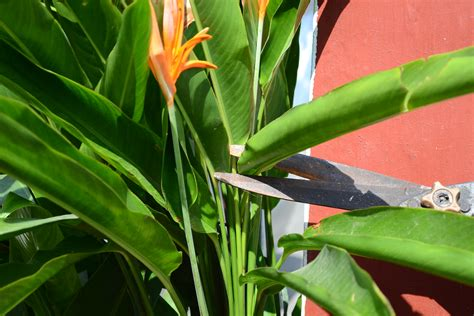 how to grow bird of paradise 14 steps with pictures