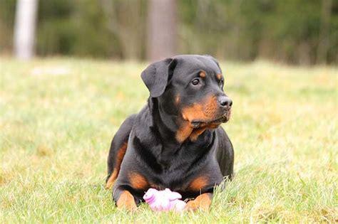 parvo in rottweilers parvovirosis en perros transmisi 243 n s 237 ntomas y tratamiento
