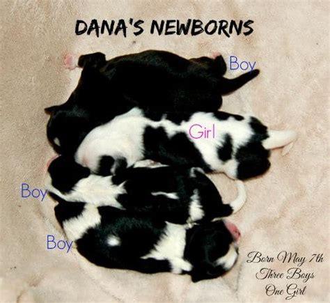 shih tzu puppies for sale in nebraska shih tzu puppies for sale in ne ohio