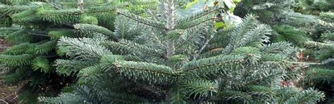 real christmas trees from the billingley christmas tree farm