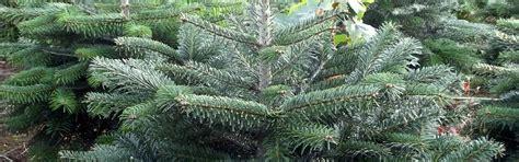 real christmas trees from the billingley christmas tree farm