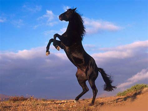 wallpaper hd black horse black horses hd wallpapers horse desktop wallpapers hd