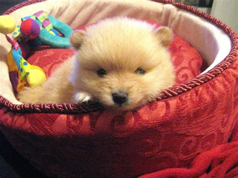 show me pictures of pomeranian puppies pomeranian puppy dogs photo 4244741 fanpop