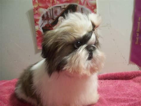 seminole shih tzu shih tzu puppy