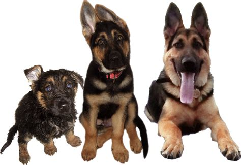 how often does a go in heat how often do german shepherds go into heat powerpointban web fc2