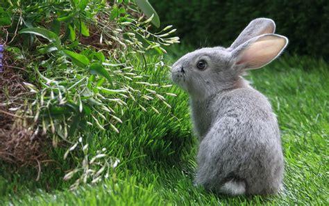 grey rabbit wallpaper grey rabbit 1920 x 1200 animals photography