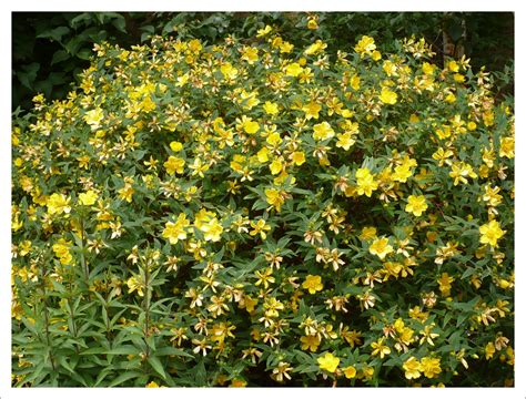 shrubs jayne anthony garden design - Evergreen Shrub With Yellow Flowers