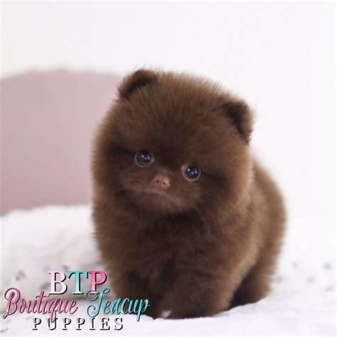 pomeranian like a teddy pomeranian puppies that look like teddy bears pets wallpapers