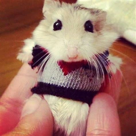 Hamster Sweater by A Hamster In A Sweater Omg Beyondadorable Lol