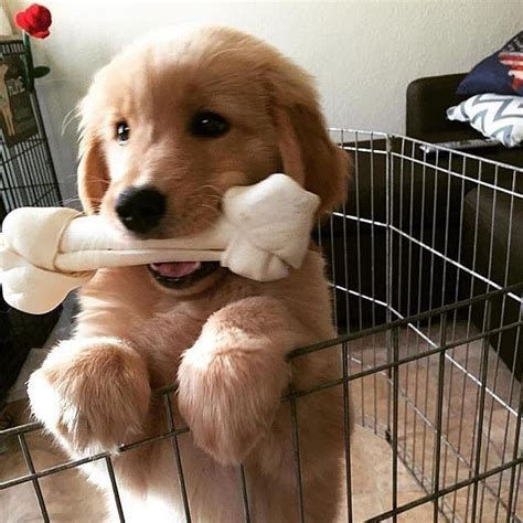 chew toys for golden retriever puppies best 25 golden retriever puppies ideas on