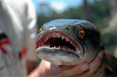 film barat monster ikan giant snakehead ikan monster dari pantai inggris