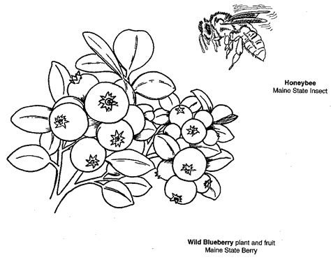 blueberry coloring page coloring home