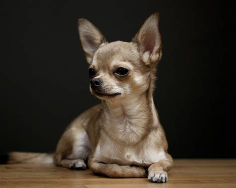 chiwawa puppy 55 beautiful chihuahua photos and pictures