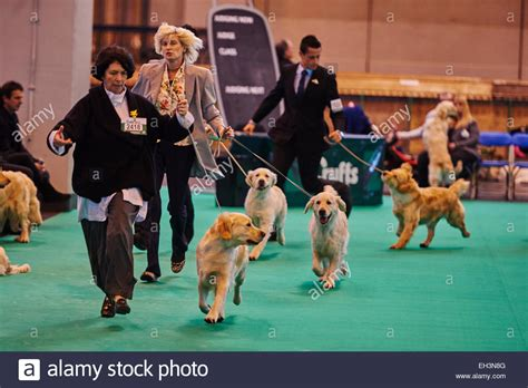 golden retriever contest golden retriever during a competition at the crufts show 2015 stock photo royalty