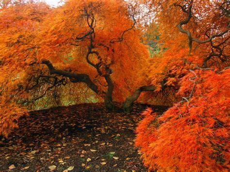 maple tree nc autumn in the united states shininglord