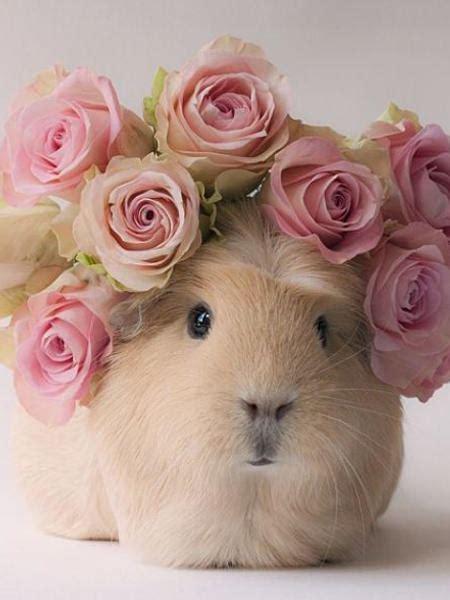 meerschweinchen booboo ist ein echtes instagram model