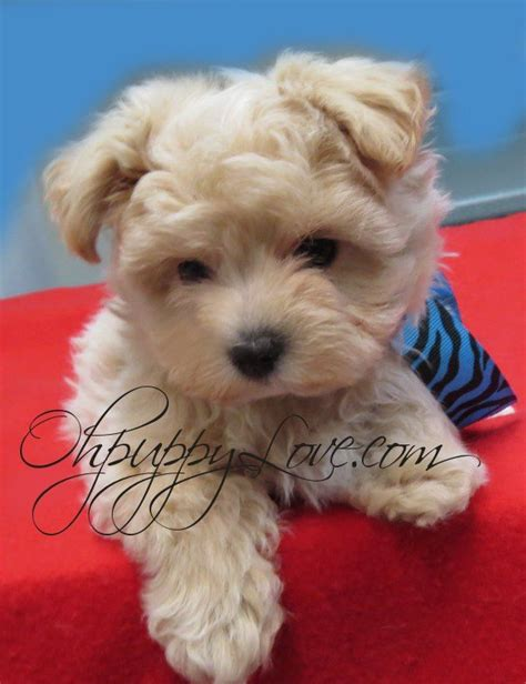 morkie puppies for sale in michigan best 25 small dogs for sale ideas on