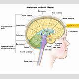 Hypothalamus   1500 x 1323 jpeg 367kB