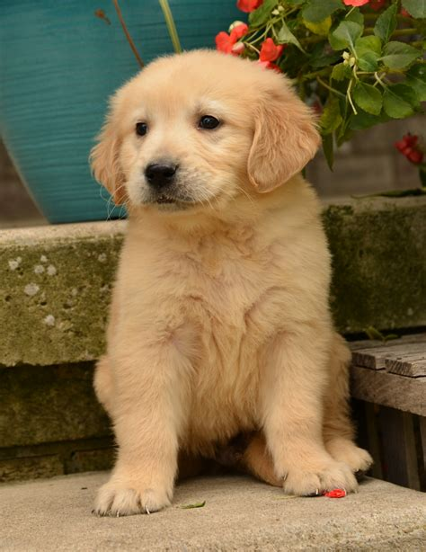 everything you need to about golden retrievers golden retriever puppy www pixshark images galleries with a bite
