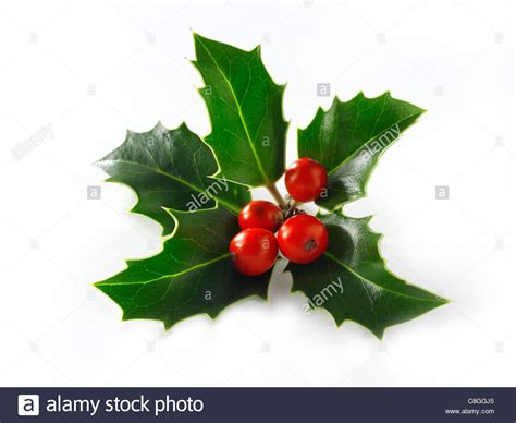 christmas leaf leaves berries stock photo royalty free image 39702269 alamy