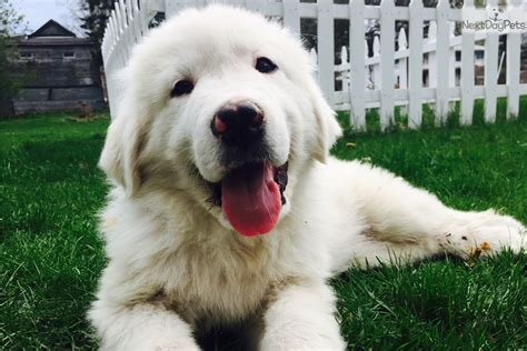great pyrenees short hair great pyrenees puppy short hair pictures great pyrenees