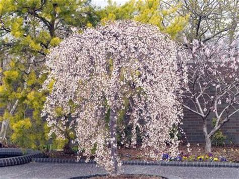 small ornamental trees zone 5 snow fountains 174 weeping cherry prunus x snofozam from berry