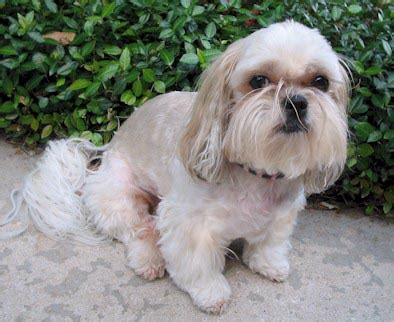 shih tzu haircuts photos shih tzu haircuts pictures