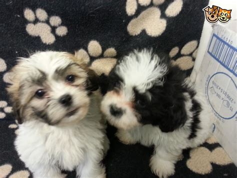 shichon puppies for sale in pa shichon puppies for sale in ohio breeds picture