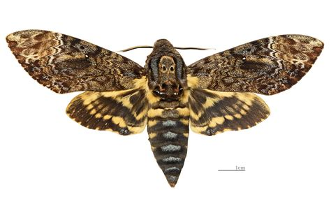 death s head hawkmoth wikipedia