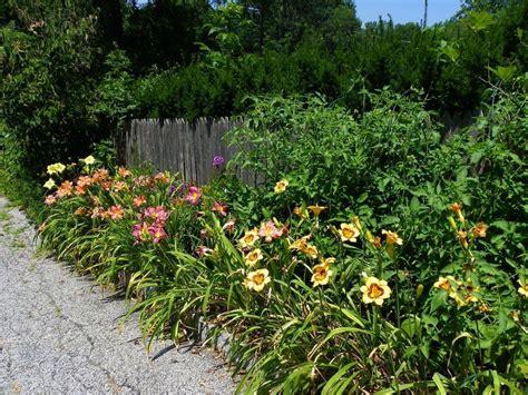 cottage gardens daylilies daylilies in a cottage garden garden org