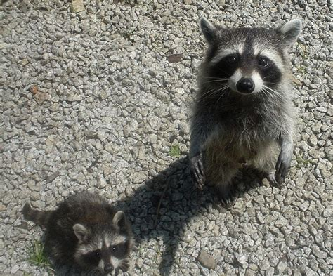 how to get rid of a raccoon in your backyard racoons in your attic or home learn how to get rid of them