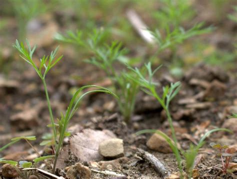 Did K Fed Plant One Last Seed by Dill Reseeds Itself Like Use That Herb