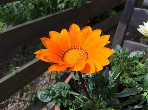 gazania fiore gazanie coltivazione e cure