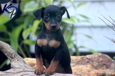 miniature pinscher puppies for sale in pa keystone puppies 25 best miniature pinscher images on pinterest miniature