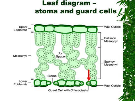 stomata diagram leaf stomata diagram wiring diagram