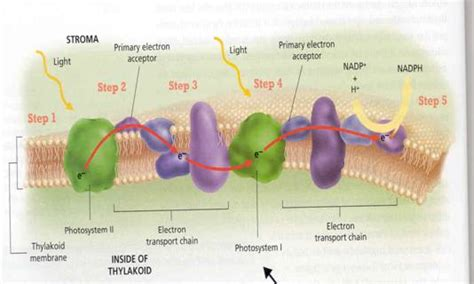 Light Reactions Of Photosynthesis by Pics For Gt Photosynthesis Diagram Light Reactions