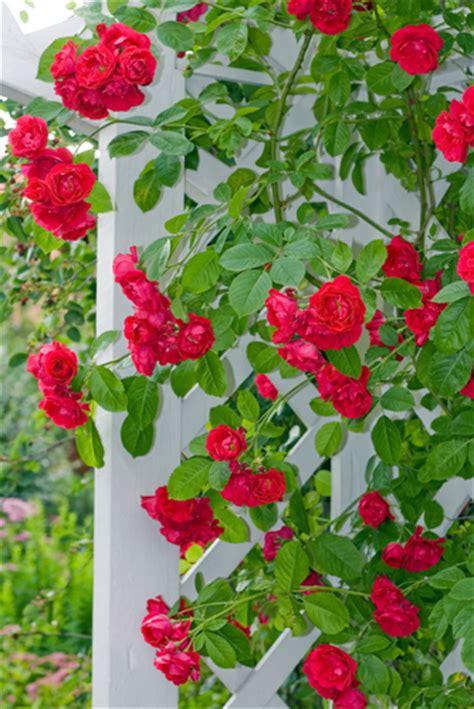 tips on planting quot climbing roses quot on a rose trellis my klimrozen romantische bloemenpracht soorten klimrozen