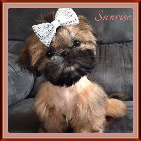 sumora shih tzu imperial shih tzu puppy in los angeles californiafor sale breeds picture