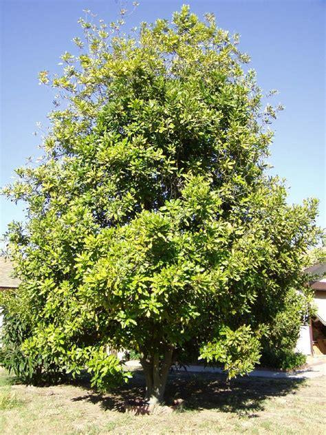 el otro arbol de 8484691594 macadamia el otro nogal garden catalunya plants sant vicen 231 dels horts barcelona