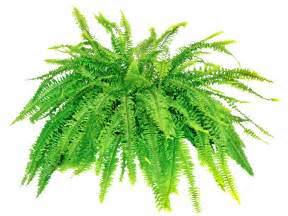repotting boston fern plants when and how to repot a