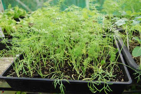Biji Fennel Adas Easy Grow florence fennel pod easy edible gardening