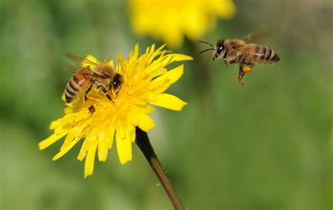 bee killing pesticide now banned throughout vancouver