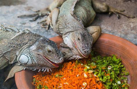 alimentazione iguana un cibo di due iguane fotografia stock immagine di